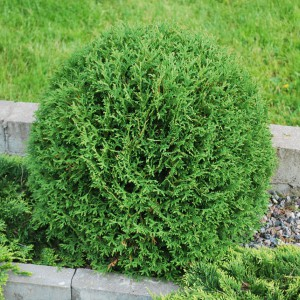 Thuja_occidetnalis_Tiny_Tim.JPG