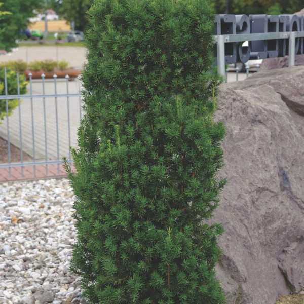 Taxus media Hillii1