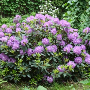 rhododendron-catawbiense-boursault